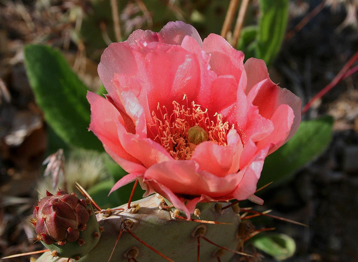 Apricot_cactus_0925
