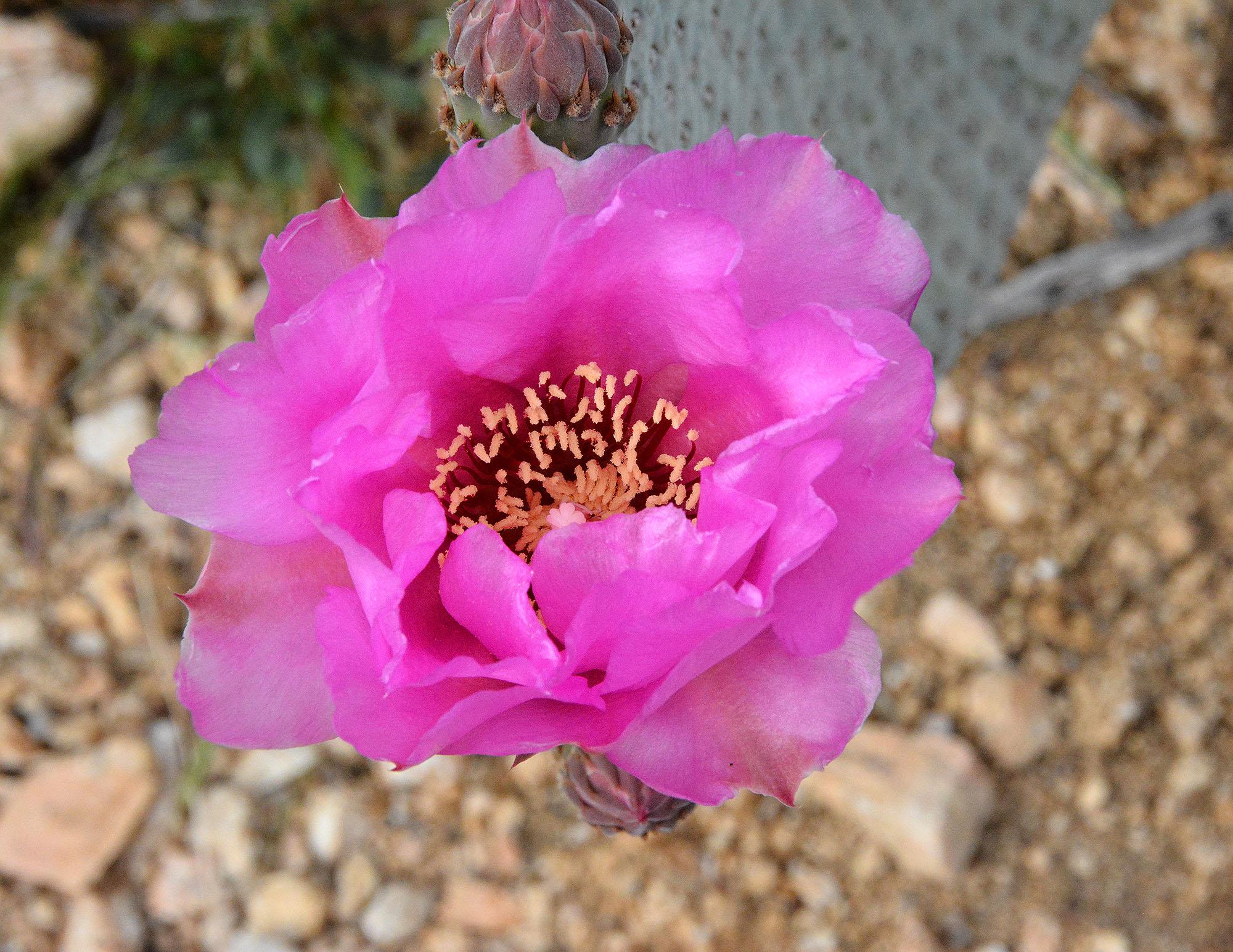 Beavertail Cactus Opuntia Basilaris Desertplants